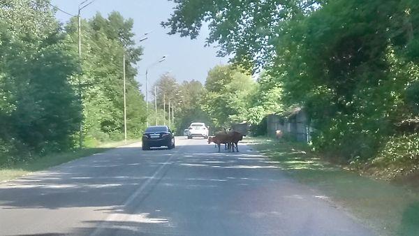 Коровы на дорогах
