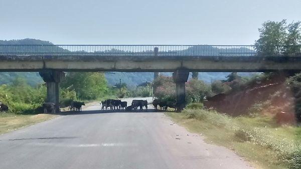 Коровы Абхазии